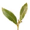 Лавровый лист Laurus nobilis