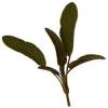 Шалфей / Salvia